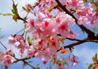 60河津桜