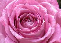 138薔薇