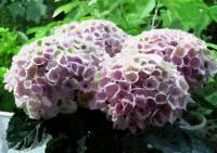 144紫陽花