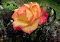 146薔薇