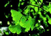 190イチョウの葉
